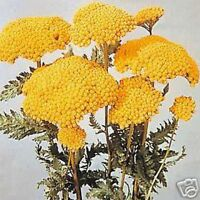 Yarrow- Cloth of Gold/Yellow-  250 Seeds- BOGO 50% off SALE