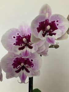 Phalaenopsis Big Lip Aladdin (The plant is not blooming at this point)