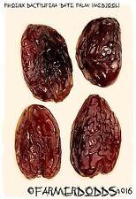 Phoenix dactylifera aurait mangé Palm 'medjool 10 Graines