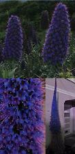 frostharte Zierpflanze: Imposanter wohlriechender Blauer Natternkopf  / Saatgut