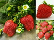 10 ORGANIC STRAWBERRY SEEDS (Fragaria x ananassa) Sweet Edible