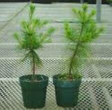 "APPALACHIAN MOUNTAIN GROWN WHITE PINE TREE 2 FT STARTER TREE SEEDLING 24"" #GLD"