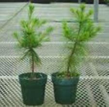 """Ga.  MOUNTAIN GROWN WHITE PINE TREE 24"""" inch STARTER TREE SEEDLING 24 INCH"""