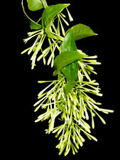 RAAT KI RANI-CESTRUM COTURNUM- NIGHT BLOOMING JASMINE 2.5-4 FEET PLANT  7 LTR