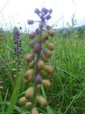 Plants Bank Tassel hyacinth Muscari  Comosum 350 seeds