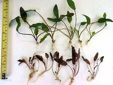 10 x Live Aquarium Aquatic Plants Mixed CRYPTOCORYNE 5 green 5 red/brown ROOTED