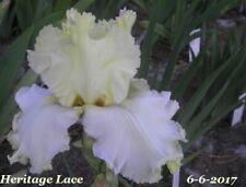 "1 ""Heritage Lace"" Gorgeous Ruffled Tall Bearded Iris Rhizome"