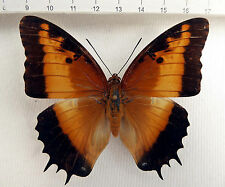 Nymphalidae, Charaxes Pollux Pollux female, ex zentralafrikanischer república n313