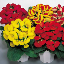 30Pcs Mix Color Calceolaria Pocketbook, Slipper Flower Seeds Pocketbook Slipper