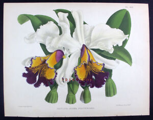 1881,J.N. FITCH WARNER'S ORCHIDS Painted by Hand CATTLEYA AUREA STATTERIANA WME