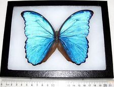 REAL WINGS FRAMED BUTTERFLY BLUE PERUVIAN MORPHO DIDIUS FLAT PAPER BODY