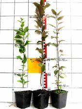 Malus sieversii ,  asiatischer Wildapfel / Ur - Apfel   (Pflanze)