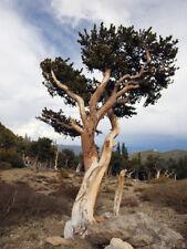 PINUS ARISTATA - ROCKY MOUNTAINS BRISTLECONE PINE, 10 SEMI