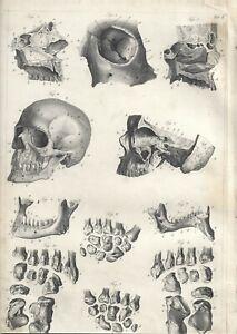 Stampa antica ANATOMIA CRANIO MANDIBOLA DENTI medicina 1850 Old Antique print