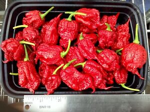 """Carolina Reaper pepper plants, red ( three count ) 3"""" to 5"""" tall, FREE SHIPPING"""