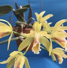"""Cattleya luteola ('GC' 4N X 'H&R' 4N) Fragrant Orchid Species 2"""""""