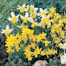 PRE-ORDER - 20 x Mixed Rockery Narcissus Miniature Flowers Spring Bulbs