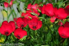 300 Red Scarlet Flax Seeds Hardy Drawf Linum Grandiflorum Rubrum Hanging Flower