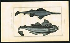 1844 Sawshark, Hand-Colored Antique Engraving Print - Lacepede Natural History