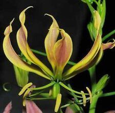 Gloriosa superba carsonii RARE 10 seeds