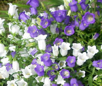 CANTERBURY BELLS CUP AND SAUCER MIX Campanula Medium - 5,000 Bulk Seeds