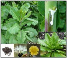 True Wild/Opium Lettuce Seeds - Lactuca virosa -