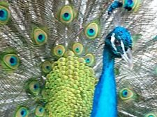 Peafowl hatching eggs   beautiful Indian Blue Peacock X Emerald Spaulding Hens