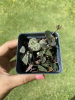 Ceropegia Woodii/ String of Heart/Plant Sweetheart Vine/ Rosary Vine/Chain of He