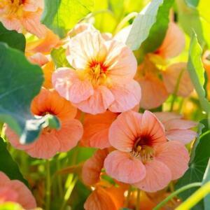 Garden Nasturtium Coral Glitter Seeds - Tropaeolum majus - Annual Flower
