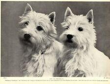 1930s Antique West Highland White Terrier Print Whitebeam Tweedledum Ana 3629-N