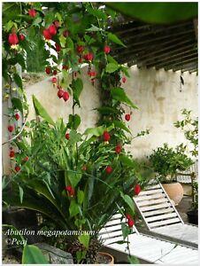 Abutilon megapotamicum - lanterne chinoise  - 1 plant -