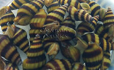 10 X Assassin Snail Live Snail Eater Clea Helena Fish Tank Aquarium