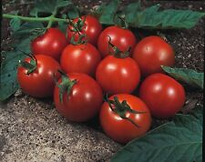 Vegetable - Tomato - Alicante - 1200 Seeds - Bulk