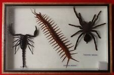 REAL EXOTIC HUGH TARANTULA SPIDER  CENTIPEDE SCORPION INSECT DISPLAY TAXIDERMY