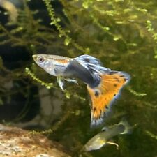 6 Fry Guppies of Multi Colorful Delta Guppies Blue Orange Red
