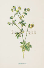 "Edward Hulme's ""Familiar Flowers"" Colored Litho -1902- LADY'S MANTLE"
