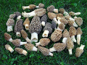1 x Kit Morel Mushroom Spores Seeds in Sawdust Makes 5 gals each Gourmet