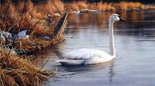 Spring Thaw - Trumpeter Swan by James Hautman, Limited Edition, 12x21, COA