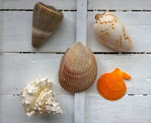 Assorted Mixed Seashells Set of 5 Melon Shell Yellow Scallop Cone Frog Shell
