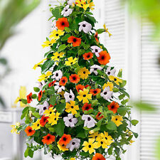 Black Eyed Susan Great looking climbing plant *DOUBLE PACK BETTER VALUE