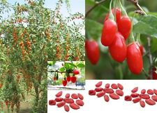 Goji Berry Lycium Barbarum wolfberry 50 Graines Fruit Vivace Seeds Sementes