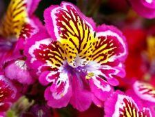 100Seed Angel Orchid Schizanthus Bonsai Plant House Herb Garden Flower Pot Decor