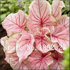 50 Pcs Seeds Potted Indoor Plants Thailand Caladium Collection Bonsai Garden New