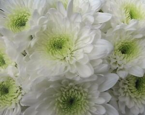 FRESH WHITE DOUBLE MASSING CHRYSANTHEMUMS - FLOWERS FOR FUNERAL TRIBUTES MUM DAD