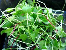 Micro VERDI Broccoli coltivare i propri Inverno Davanzale insalate 5 G (1500 + semi)