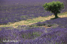 LAVANDULA ANGUSTIFOLIA - LAVANDA VERA, 1000 HIGH QUALITY SEEDS