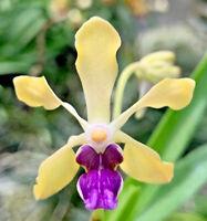 Blooming Size Vanda Papilionanda Motes Purple Majesty Live Orchid Plant Compact