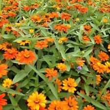 100 seeds orange Zinnia Profusion small flower annual attracts butterflies +gift