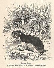 A7644 Lemming (Lemmus norvegicus) - Xilografia - Stampa Antica del 1928