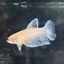 New listing Betta Lavender with Blue Splash Halfmoon Hm Juvenile Female Premium Quality Af24